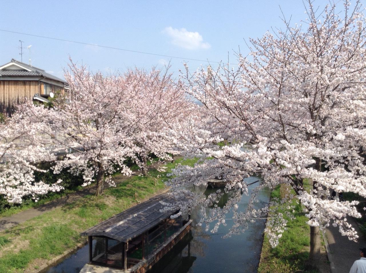 京都 伏見 桜