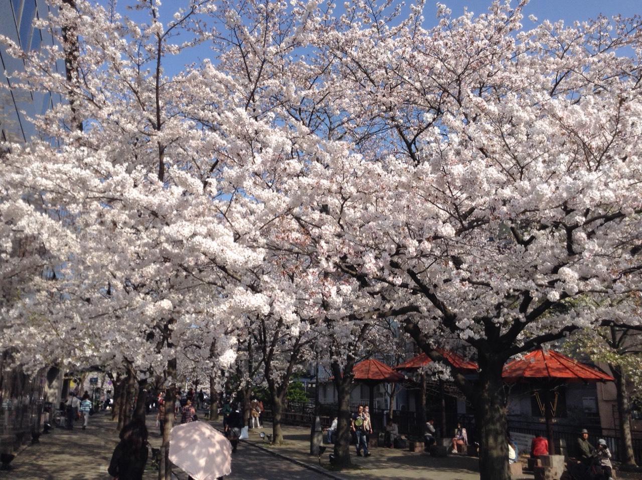 京都 祇園 桜